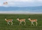 Танзания. Трио газелей